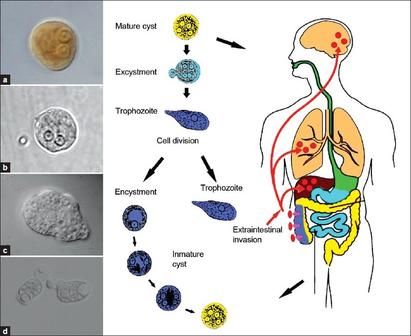 Entamoeba Coli Life Cycle http://www.jgid.org/article.asp?issn=0974-777X;year=2011;volume=3;issue=2;spage=166;epage=174;aulast=Xim%E9nez